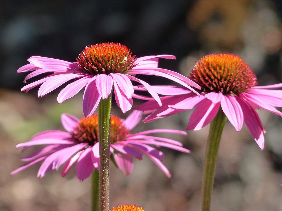echinace - pestovanie a zber kvetov