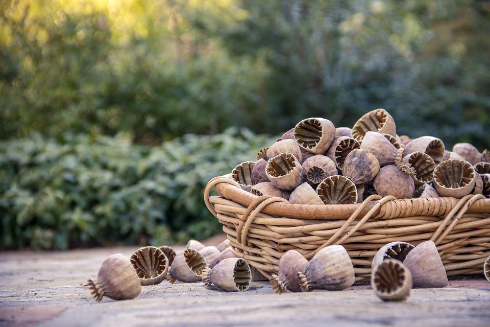 makovice - výroba makového oleja