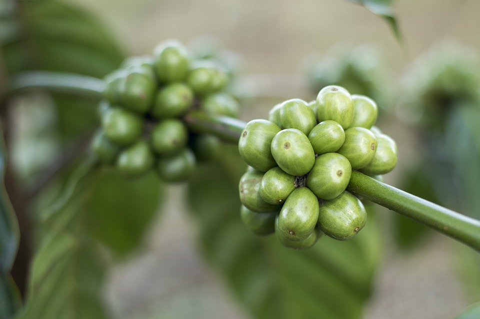 Zelená káva - plody